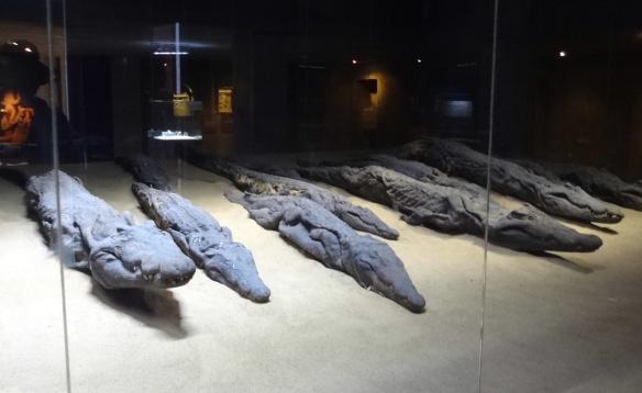 Mummies of crocodile in the  Crocodile Museum