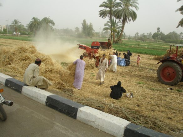 Harvesting in Luxor