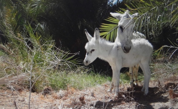 Parent and child of white donkey