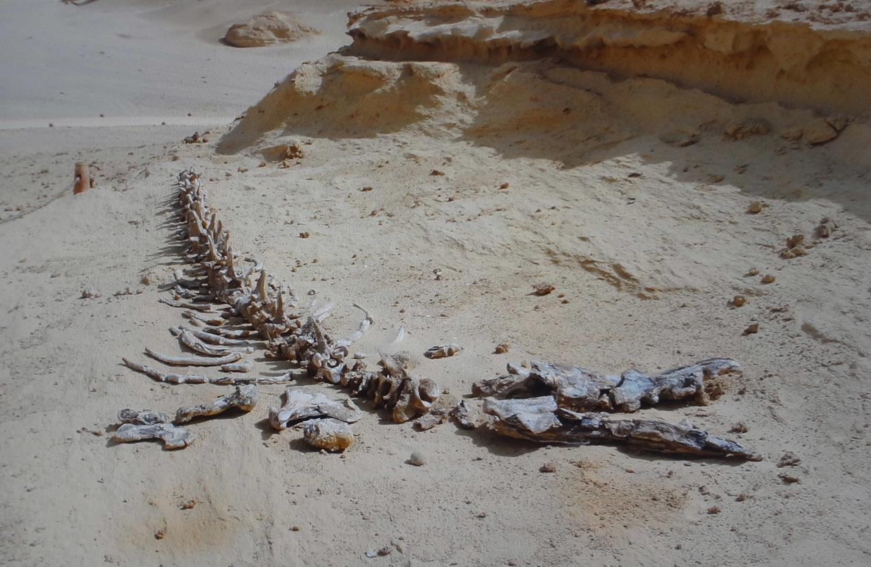 walking wheal sahara desert