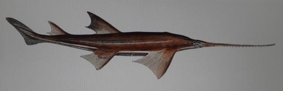 Sawfish