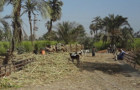 Sugar Cane Field of Abydos