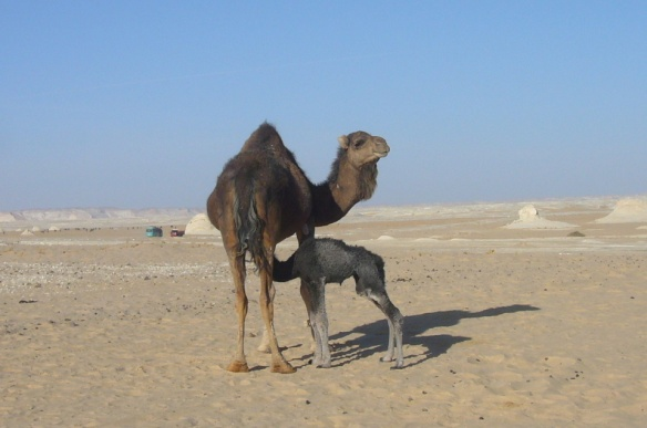 Mother and child of camel