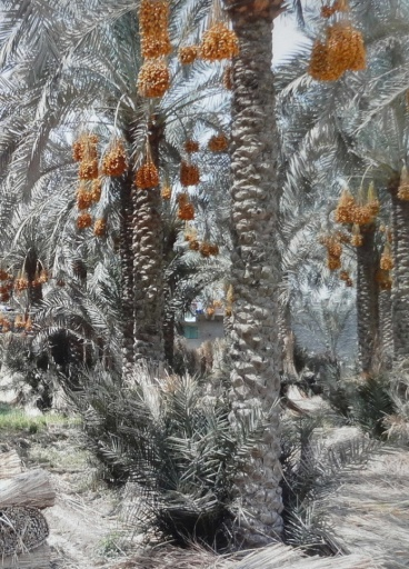 Forest of the date palm of Dahshur Village