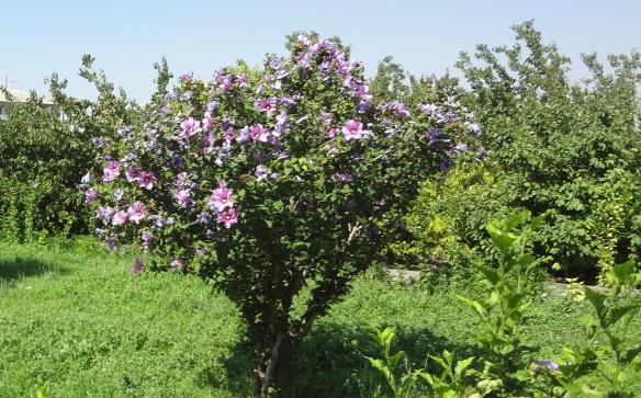 Armenian blossoms