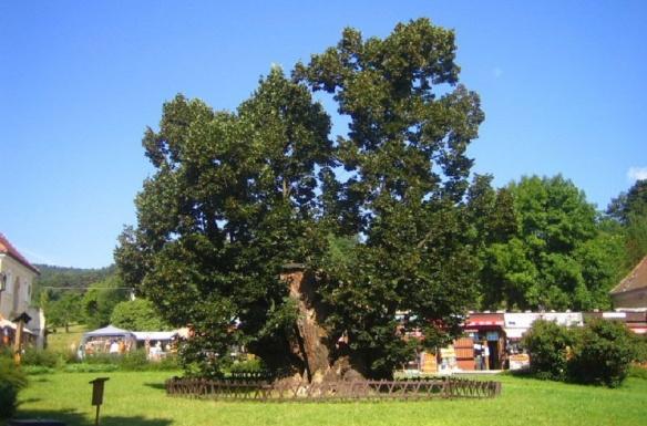 Linden tree of Bojnice Castle