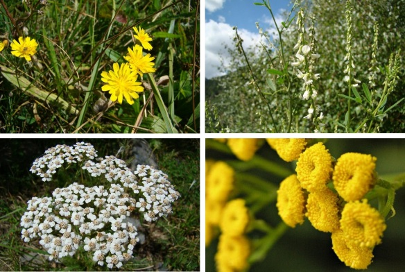 Wild flowers from Pyrenees