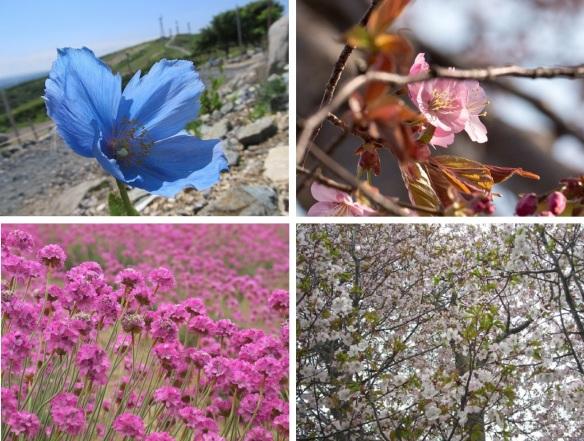 Flowers from Wakkanai Park