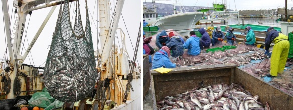 Landings of Fish and Sorting; They are really hard worker.