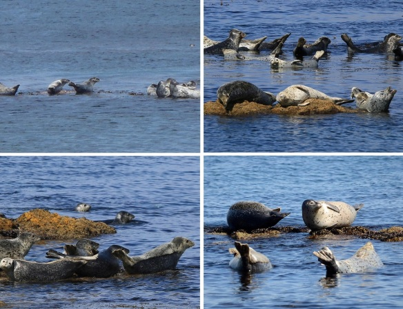 Seals frolicking on the reef