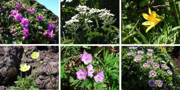Flowers from Mt. Rishiri