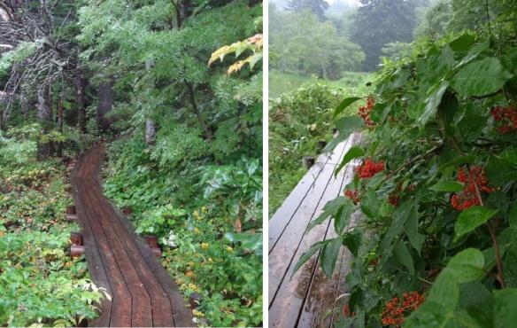 Wooden path around the swamp