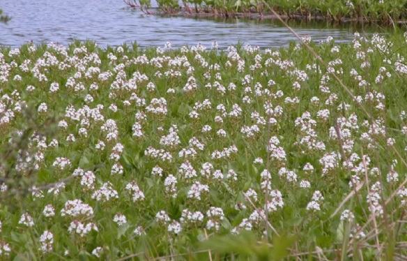 Flowers on the water of the Marshland