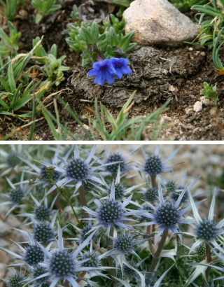 Rare alpine plants of Picos de Europa