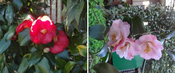 Camellia Blossoms in the Garden.