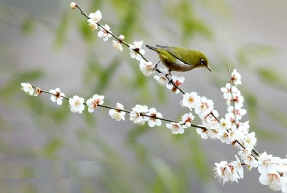 Pea green little bird (mejiro) and plum blossoms