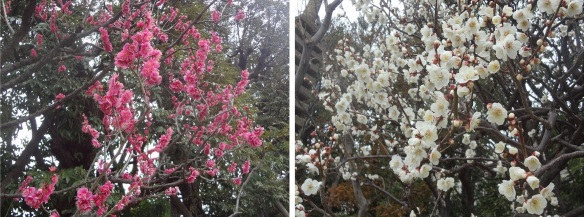 White and red plum blossoms.
