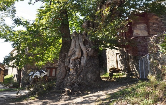 Big tree of Ramil. Past the front of the huge chestnut tree of Ramil, it is a town of Triacastela.