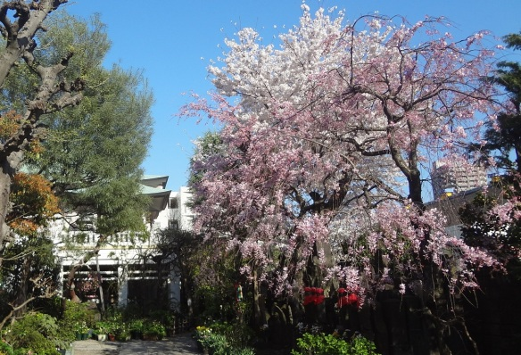 Cherry blossoms in full bloom on the precincts of Buddhist temple.