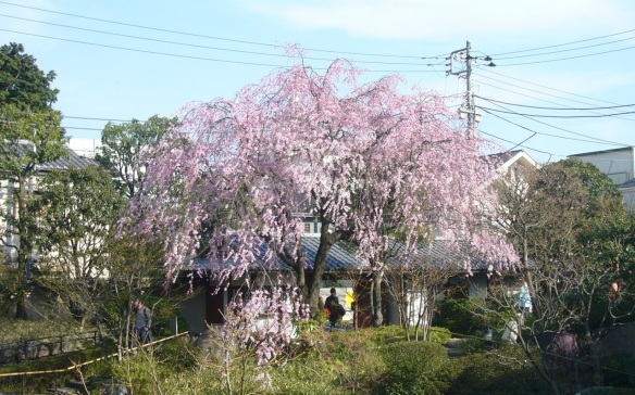 The weeping cherry trees in the Japnese garden are very pretty in the spring.