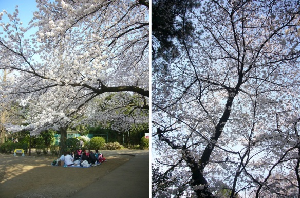 The people enjoy cherry blossoms. The cherry blossom in the blue sky.