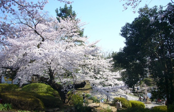 Very beautiful cherry blossom.