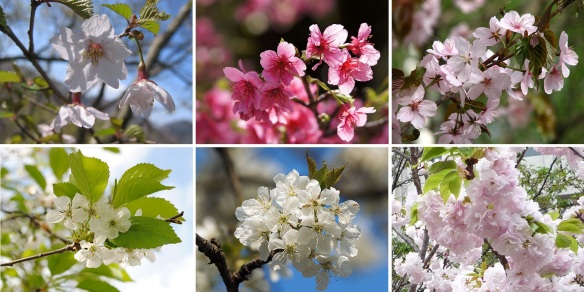 There are some forms of cherry, I do not know well to them.