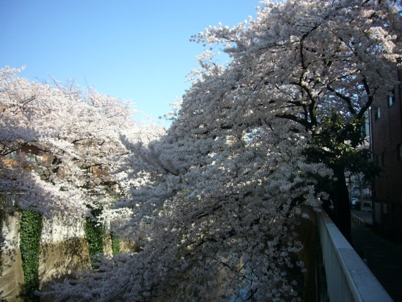 Really gorgeous cherry blossoms.