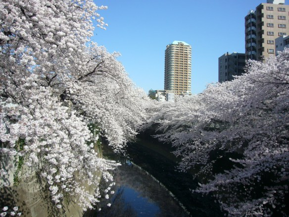 Cherry blossoms along the Kanda River in Shinjuku-ward.