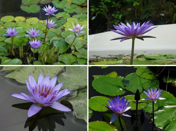 Purple water lily is the National Flower of Sri Lankan.