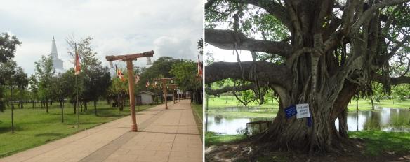Walking from Sri Maha Bodhi; Distant view of Ruvanveliseya Stupa and roadside strange giant tree.