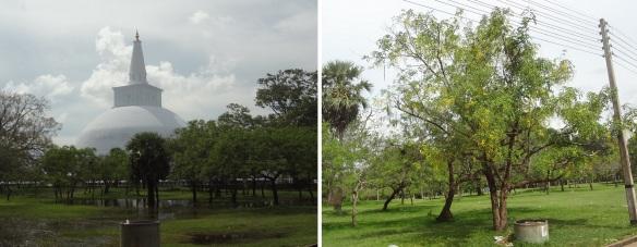 Going to Ruvanveliseya Stupa. Roadside Indian tree.