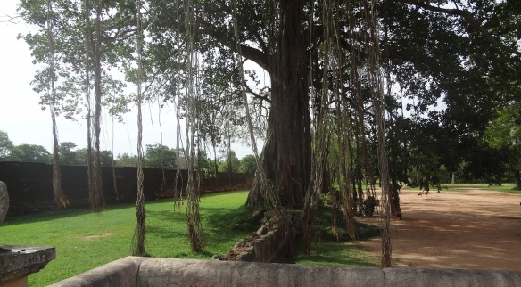 Wonderful gigantic tree in the yard of Jetavanaramaya