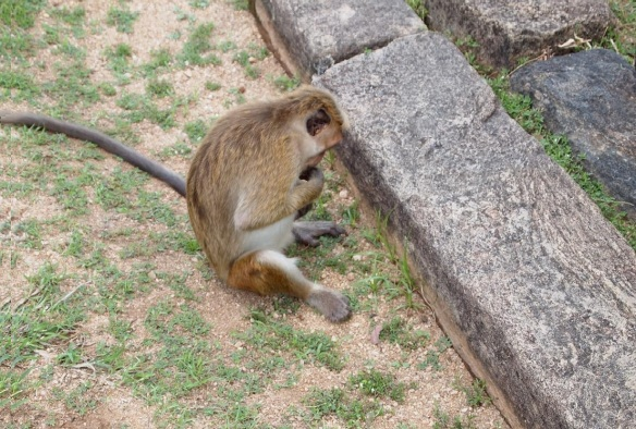 A monkey by the sanctuary of Vatadage
