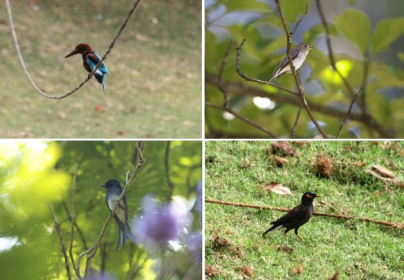 Birds on this area; White-throated Kingfisher, Asian Brown Flycatcher, White-bellied Drongo and Indian myna.