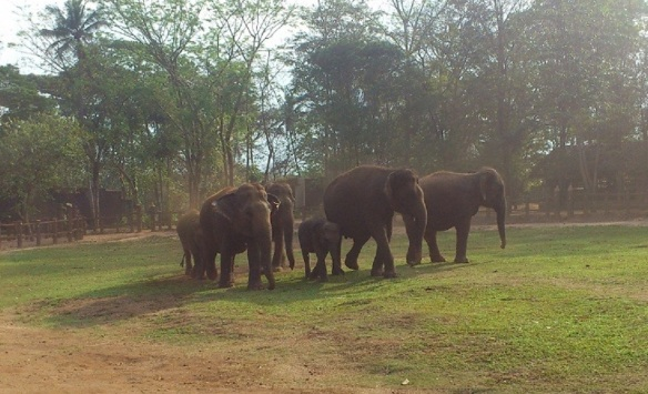 Internal Land of Pinnawala Elephant Orphanage, elephants grazing freely.