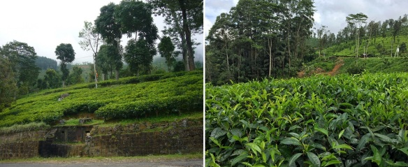 Driving through the village of Tawalantenna, both sides of the road are tea plantations.