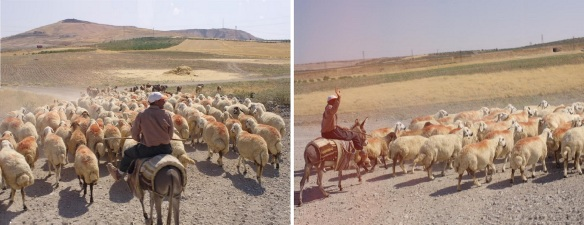The flock of sheep in the suburbs of Şanlıurfa.