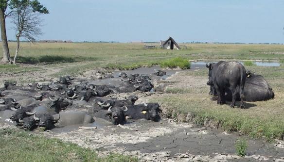 Herd of Water Buffalo.